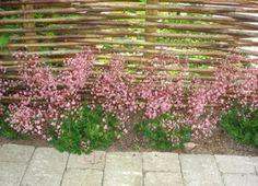 Porcelænsblomst, Saxifraga urbium, har små rosa stjerneformede blomster i florlette toppe i maj og juni. Den blomstrer længe og tåler let skygge. God i rosenbedet.    Blomsterne sidder på lange stilke, men når porcelænsblomst ikke blomstrer, er det en lav staude, der egner sig glimrende som bunddække. Planten bredder sig ligesom husløg ved at danne nye rosetter, der kan deles efter blomstring. De mørkegrønne blade er stedsegrønne.