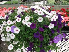 Pretty petunias. We love mixing the white, light purple, and deep purple petunias in hanging baskets.