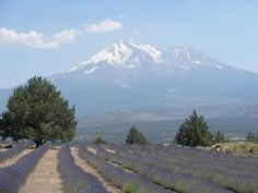 Mt. Shasta Lavender Farms | Northern California Travel & Tourism Information Network  PERFECTION.