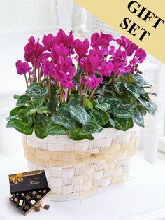 Cyclamen Duo with Chocolates Dublin, Cork, Fall Flowers, Flower Arrangements, Planter Pots, Bouquet, Chocolates, Plants, Gifts