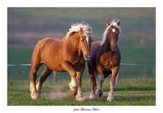 comtois draft horses. I want one