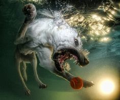 There's something funny about the face and eyes of dogs underwater, or dog diving for a ball, or doggies fetching in a swimming pool.