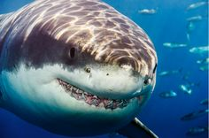 Awesome great white shark ! - smile