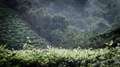 Raining in a tea plantation