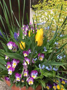 A legszebb tavaszi összeültetések egymáshoz illő tavaszi hagymások és egyéb korán nyíló virágok edénybe ültetésével jöhetnek létre. A tervezést érdemes már szeptemberben megkezdeni, a virághagymák ültetésével még várhatunk. Vadady Mária sok éves tapasztalatával részletesen... The post Tavaszi összeültetések tapasztalatai és buktatói appeared first on Balkonada.