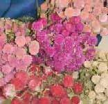 List of Popular Dried Flowers | The Flower Expert - Flowers Encyclopedia