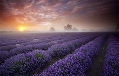 Lavender sunrise - Antony Spencer.