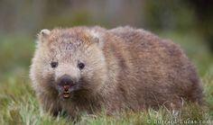 wombat   un wombat commun le wombat commun vombatus ursinus le wombat