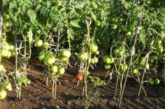"""Aceste legume nu pot trăi una fără alta, trebuie să fie neapărat alături! Această """"vecinătate"""" va aduce o mulțime de beneficii... - Fasingur Summer House Garden, Home And Garden, Vineyard, Nature, Image, Farming, Gardening, Group, Sodas"""