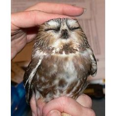 Northern Saw-whet Owl Invasion Update Ohio Birds and Biodive ...