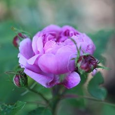 Autumn Rose In Lilac