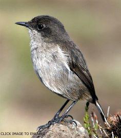 alpine chats birds - Google Search