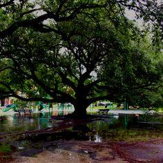A mighty Oak.