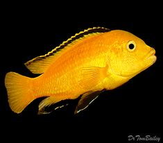 A Lemon Yellow Mbuna in one of our aquariums. To see more click on ...   http://www.AquariumFish.net/catalog_pages/cichlids_african/mbuna_cichlids_table.htm#2196