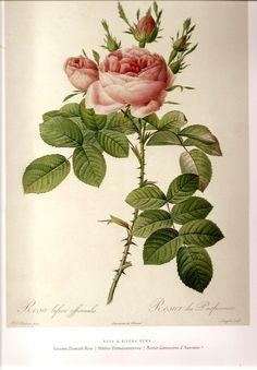 REDOUTE Antique ROSES Botanical Art Print Bookplate