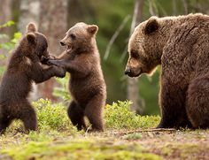 Eurasian brown bear (Ursos arctos) female and her playful cubs at the edge of a boreal forest, Finland. Animals And Pets, Baby Animals, Cute Animals, Wild Animals, Baby Pandas, Giant Pandas, Facts About Bears, Cute Bear, Trophy Hunting