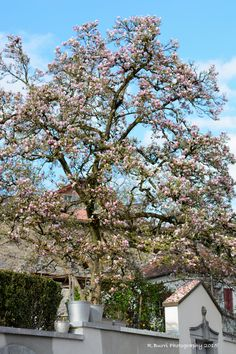 Blooming Magnolia Tree in the middle of the city of Zug, Switzerland.