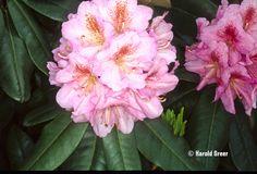Scintillation Rhododendron