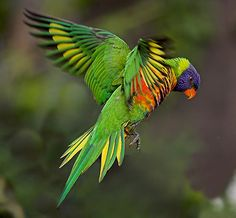 Rainbow Lorikeet Flying / Australian Animal Learning Zone Get up close and personal. See all of the wonders of Australia for yourself. Tropical Birds, Exotic Birds, Colorful Birds, Beautiful Birds, Animals Beautiful, Cute Animals, Parrot Flying, Australian Parrots, Paludarium