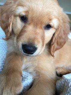 Ruby 9 week old golden retriever.