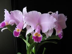 https://flic.kr/p/kfFepV | Cattleya trianae 'Diamond Orchids'