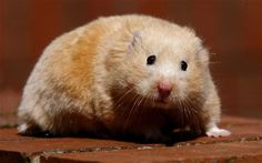 Jealous boyfriend releases girl's hamster after she admits ...