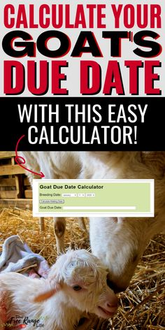 Is it breeding season in your goat herd? Make sure you know your goat's due date by using this goat gestation calculator so you can be prepared for kidding this spring! If you raise goats you need to know when your goat's are due for kidding, use this calculator to know for sure! Raising Goats, Raising Chickens, Healthy Kids, How To Stay Healthy, Breeding Goats, Due Date Calculator, Care During Pregnancy, Nubian Goat