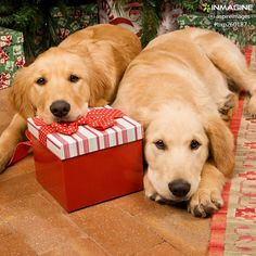 Repin if you wish to have a golden retriever as Christmas gift this year!