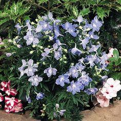 Delphinium grandiflora Summer Blues