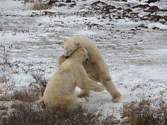 Polar Bears in Churchill, Manitoba   Photo by Sue Frause