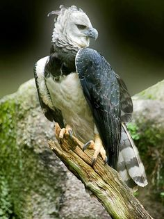 Most Beautiful Animals, Majestic Animals, Rare Animals, Beautiful Birds, Beautiful Creatures, Eagle Pictures, Bird Pictures, Harpy Eagle, Bald Eagle