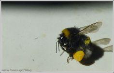 Μπάμπουρας που μεταφέρει γύρη Insects, Bee, Animals, Honey Bees, Animales, Animaux, Bees, Animal, Animais