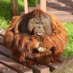 Monkey World Dorset ( List Of Animals, Animals And Pets, Funny Animals, Male Orangutan, Chimpanzee, Monkey See Monkey Do, Ape Monkey, Types Of Monkeys, Monkey World