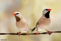 The Shafttail Finch - Poephila acuticauda