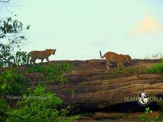 the Sri Lankan #Leopard population is geographically limited to a few of its national parks. #Udawalawe National Park is relatively unknown as a leopard habitat, but this rare picture by Mahoora Naturalist Thilanka Bodhikotuwa shows that despite their rarity, these big cats do live there. These two juveniles were seen descending a rock during a #Mahoora Safari at #UdawalaweNationalPark.   More info about Udawalawe National Park…