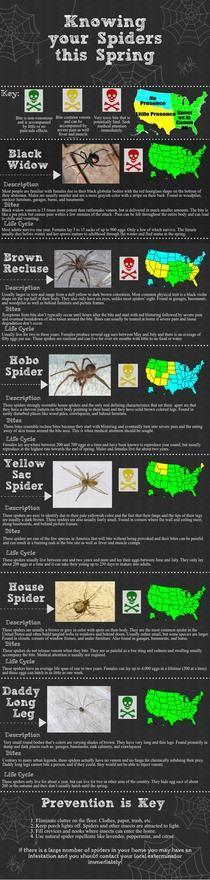 Spider Identification | Piktochart Infographic Editor #goodtoknow #chart #prevention