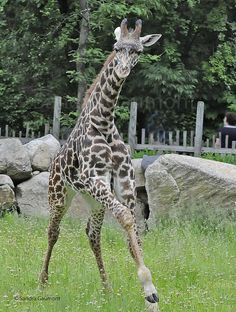 Giraffe playing by Nature View, via Flickr