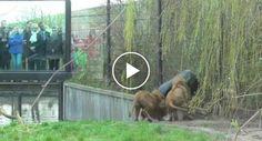 Leão Fica Com a Cabeça Presa Num Barril Em Jardim Zoológico
