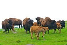 Bison Herd at Wrågården Farm in Falkoping, Sweden