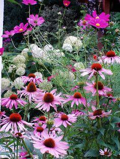 Cosmea en echinacea purpurea