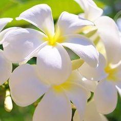 【kyoto_flowerhouse_omuro】さんのInstagramをピンしています。 《【メディアで話題の京都老舗花屋】 お誕生日を迎えられた皆様、おめでとうございます。 11月16日の誕生花は【プルメリア】です。花言葉は『気品・恵まれた人』などです。  京都花室 おむろでは、 #桜盆栽 など、たくさんのフラワーギフトを販売しております。詳しくはウェブをご覧ください。検索:【おむろ】  #京都花室おむろ #おむろ #花 #誕生花 #胡蝶蘭 #蘭 #桜 #盆栽 #御室桜 #祝 #誕生日プレゼント #誕生日おめでとう #仁和寺 #御室仁和寺 #omuro #flower #birthdayflowers #orchid #sakura #cherryblossom #bonsai #omurosakura #anniversary #birthdaypresent #japan #ninnaji #omuroninnajistation》