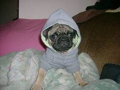 I didn't choose the pug life...it chose me!