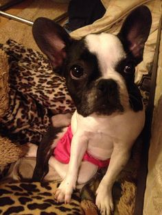 My dog Pig looking pretty cute in her pink undies! Her back legs aren't fully functional but she's an amazing little girl! Pretty And Cute, How To Look Pretty, Sweet Girls, Little Girls, I Miss Her, Boston Terrier, Legs, Amazing, Pink