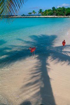 Flamingos in The Shade on a Tropical Beach, Renaissance Island, Aruba. #aioutlet