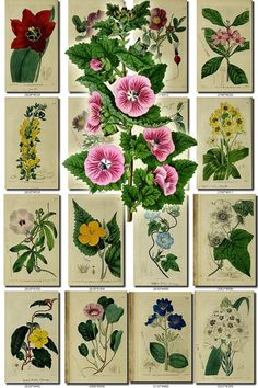 FLOWERS-129 Collection of 167 vintage images Mallow Cerbera Pavonia Rhexia botanical pictures High resolution flower image digital download data-share-from=listing > <span class=etsy-icon