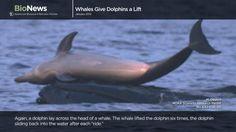 Esto sí es único...delfines jugando con ballenas...wow!!