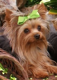 cute my (future) yorkie will have lime green hair bows. . . . . . .sometime.