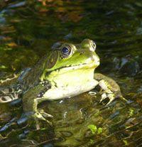 Reptiles and Amphibians native of Ohio, wonderful resource!
