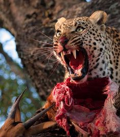 Leopard protects its prey Fast Nature Deals. Beautiful Cats, Animals Beautiful, Wildlife Photography, Animal Photography, Animals And Pets, Funny Animals, Badass Pictures, Mundo Animal, Wild Nature