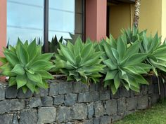 Agave Attenuata or foxtail agave makes a wonderful potted specimen or planted in the landscape in partial shade or full sun. Growing and care [DETAILS] Low Light Succulents, Cacti And Succulents, Planting Succulents, Kalanchoe Blossfeldiana, Succulent Landscaping, Landscaping Plants, Landscaping Ideas, Backyard Ideas, Garden Ideas